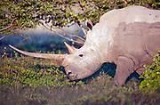 Adult white rhino female, in Etosha national park