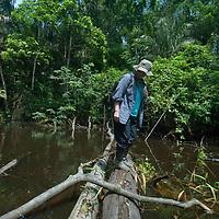 An adventurous hiker balances on a log across an Amazon Jungle swamp near Peru's Yanayacu River.