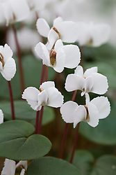 Cyclamen coum subsp. coum f. albissimum 'Golan Heights'