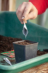 Sowing tomatoes in a plastic pot