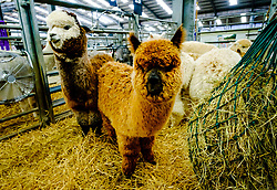 Lanark Scotland 15th April 2017:  The Second Scottish Alpaca Championship, organised by the Scottish Alpaca Group, took place on Saturday 15th April 2017 at Lanark Auction Market. The event had a record entry of 140 alpacas being shown and judged.<br /> <br /> Alpacas in the holding pens waiting their turn in the show ring.<br /> <br /> (c) Andrew Wilson | Edinburgh Elite media