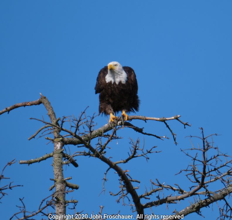 A Bald Eagle sits on a branch, Friday, July 10, 2020, near Sequim WA. (Photo/John Froschauer)