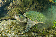 A large male Common Snapping Turtle, Chelydra serpentina, rests on the bottom of the Ichetucknee River in North Florida.