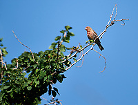 House Finch (Carpodacus mexicanus) perched in a tree, Alan Lloyd trail, Ajijic, Jalisco, Mexico