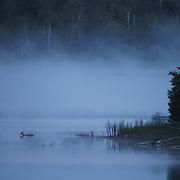 Whitetail deer (Odocoileus virginianus) crossing Island Lake, Minnesota.