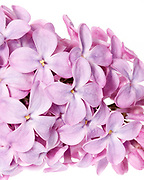 Macro photo of the flowers of heirloom lilac shrub (Syringa vulgaris)