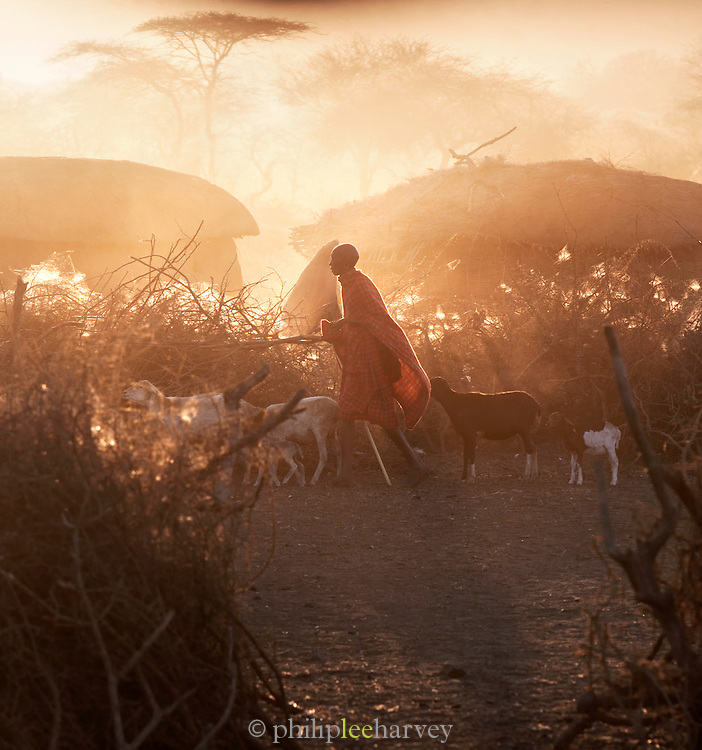 Maasai tribesman herding his goats and cattle back to the protection of his village at sunset. South-east Kenya, Kenya