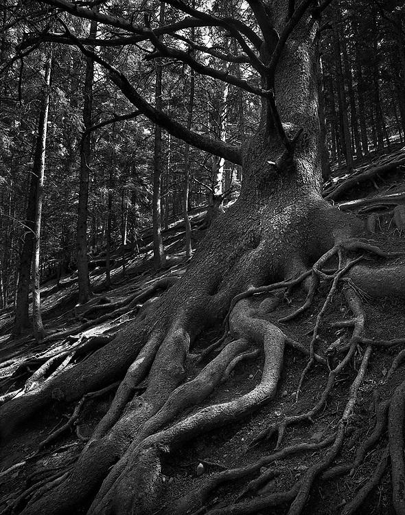 The Grandfather Tree, Cochrane, Alberta