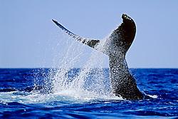 humpback whale, Megaptera novaeangliae, lobtailing or tail slapping, Hawaii, USA, Pacific Ocean