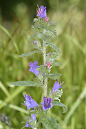 PURPLE VIPER'S-BUGLOSS Echium plantagineum (Height to 50cm) is similar to Viper's-bugloss but shorter and more softly hairy. The flowers are purplish blue and funnel-shaped; they are borne in curved clusters (Jun-Sep). This species grows on dry, sandy ground and is also found, very locally, in W Cornwall.