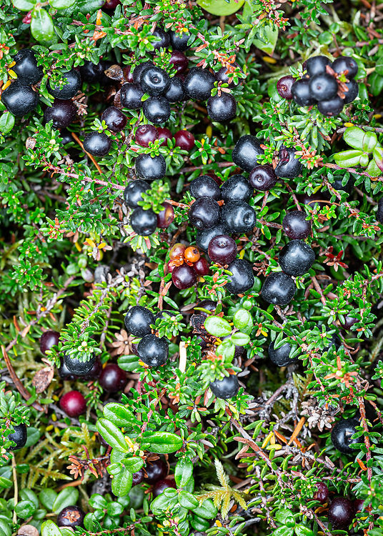 Alaska.  A carpet of Crowberries (Empetrum nigrum) and Low-bush Cranberries (Vaccinium vitis-idaea) near the Palmer Creek road on the Kenai Peninsula in September.