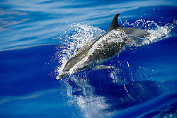 pantropical spotted dolphin wake-riding, Stenella attenuata, off Kona Coast, Big Island, Hawaii, Pacific Ocean