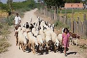 Children herding sheep and goats in farming scene at Nimaj, Rajasthan, Northern India