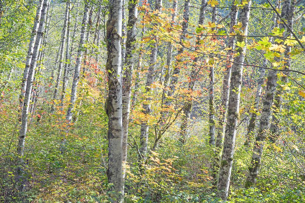 Afternon Light on Autumn Red Alder Forest North Cascades Washington State