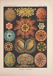 Kunstformen der Natur<br /> Leipzig und Wien :Verlag des Bibliographischen Instituts,1899-1904.<br /> https://biodiversitylibrary.org/page/47388417