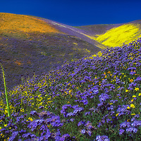 Temblor Range hillsides filled with spring wildflowers in the Carrizo Plain National Monument, California.
