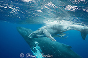 humpback whale mother and calf, Megaptera novaeangliae; baby whale is accompanied by remoras or suckerfish under its belly; Vava'u, Kingdom of Tonga, South Pacific