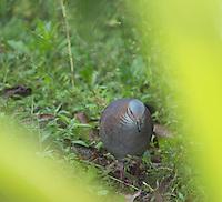 White-throated quail dove, Geotrygon frenata. Tandayapa Valley, Ecuador