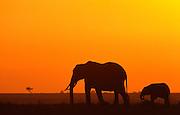 Elephants at dawn, Serengeti National Park, Tanzania.