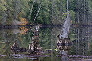 Long dead tree trunks in the swampy waters of Buntzen Lake in the fall.  Photographed from the floating bridge at the south end of Buntzen Lake near Anmore, British Columbia, Canada.