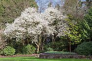 Star Magnolia flowering in the North Quarry Gardens in Queen Elizabeth Park, Vancouver, British Columbia, Canada
