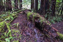The forest floor of the coastal redwoods are alive with moss and ferns and rich with the texture of rotting redwoods returning to the earth.