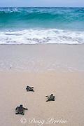 hawksbill turtle hatchlings, Eretmochelys imbricata, scramble across beach toward the sea, Turtle Island Park, Gulisaan Island, Sabah, Borneo, Malaysia  ( South China Sea )