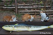 cats Zamba, JJ, and Patch with mahi mahi fish caught aboard Reel Addiction, waiting for it to be cleaned; Ika Lahi Fishing Lodge, Vava'u, Kingdom of Tonga, South Pacific