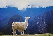 Llama by Machu Picchu ruins of Inca citadel in Peru, South America