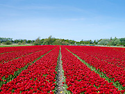 Tulpen in de omgeving van Lisse en Noordwijkerhout - Tulips in the Netherlands near Lisse