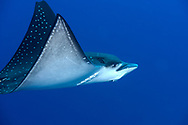 White-spotted Eagle Ray, Aetobatus narinari, Spotted Eagle Ray, (Euphrasén, 1790), Maldives