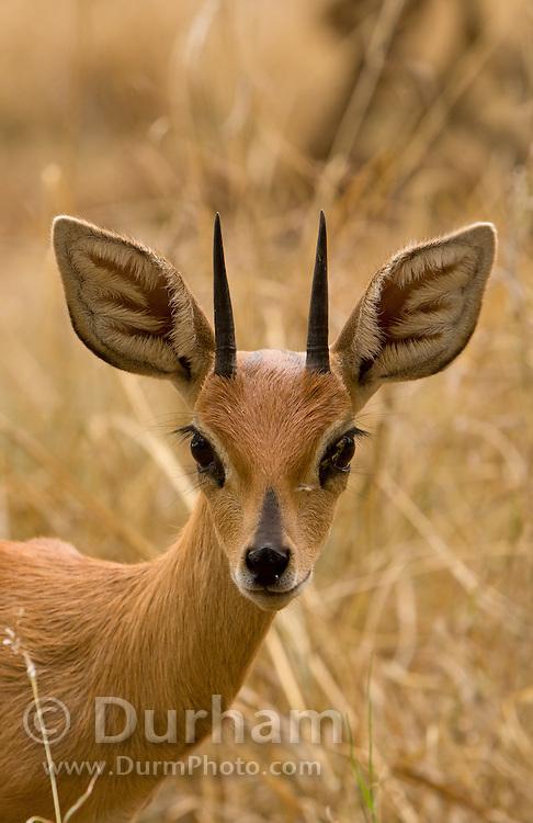 An adult Steenbok (Raphicerus campestris) photographed at the Chipangali Wildlife Orphanage near Bulawayo, Zimababwe. © Michael Durham / www.DurmPhoto.com.