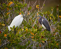 Snowy Egret and Tricolored Heron in a Mangrove tree. Black Point Wildlife Drive, Merritt Island National Wildlife Refuge. Image taken with a Nikon Df camera and 300 mm f/4 lens (ISO 3600, 300 mm, f/4, 1/1250 sec).