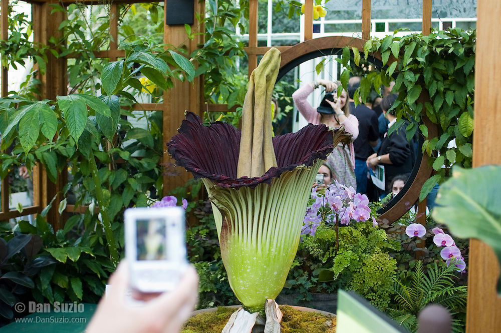 """Titan arum, Amorphophallus titanum, blooming at the Conservatory of Flowers in Golden Gate Park, San Francisco, California, in May 2005.  Native to Sumatra, it is also known as the corpse flower because of its putrid smell, which attracts insect pollinators.  The """"flower"""" is actually a cluster of hundreds of smaller flowers which together reach a height of up to nine feet, making it the largest reproductive organ of any plant in the world."""