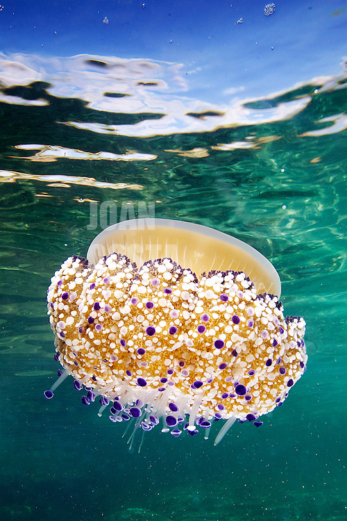 04/Septiembre/2013 Islas Baleares. Ibiza.<br /> Medusa  Agua cuajada (Cotylorhiza tuberculata) en la Playa de Sal Rossa.<br /> <br /> © JOAN COSTA