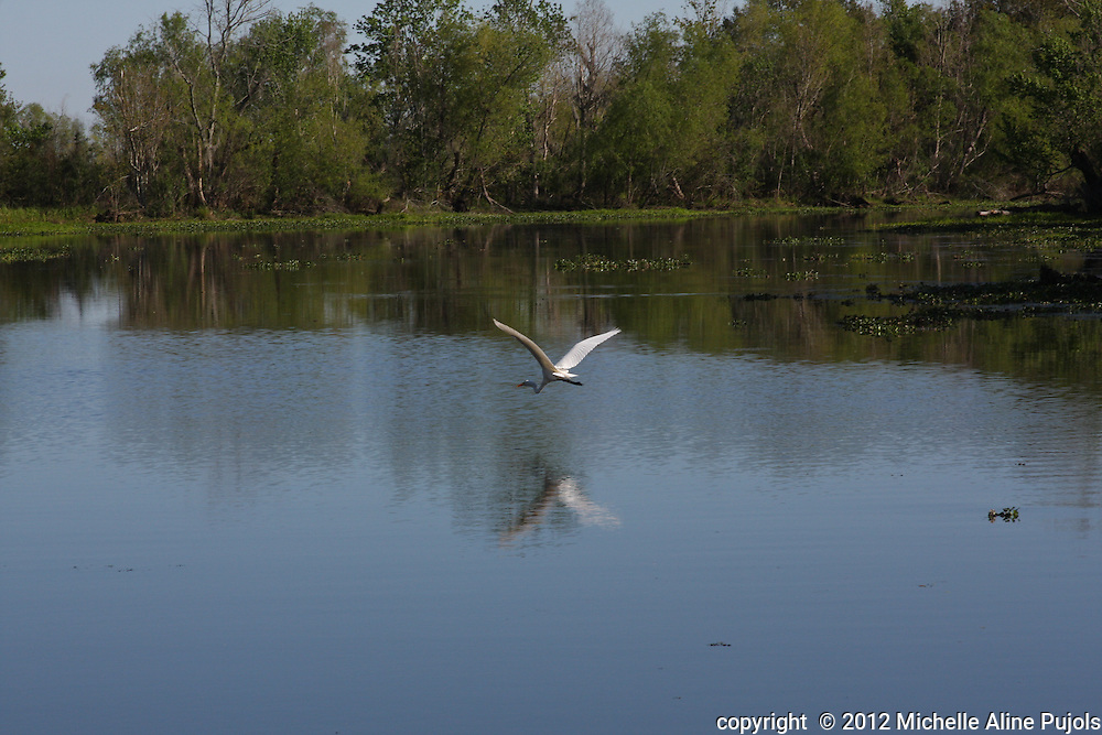 Heron flying over the swamp. Near New Orleans, LA