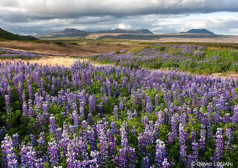 """According to """"Wikipedia"""" - ...the plant has been used to combat erosion. In some places, however, this has caused problems because of the lupin spreading too quickly. It is not native to Iceland but grows very well there. Since others plants find it difficult to root in the loose, eroded soil where it is generally planted, the lupin can grow unhindered and creates monocultures which prevent native flora to flourish."""