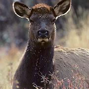 Elk, (Cervus elaphus) cow bedded in field with Begger Lice plant seeds sticking to fur.
