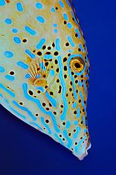 scrawled filefish, Aluterus scriptus, Grecian Rocks, Key Largo, Florida Keys National Marine Sanctuary, Atlantic Ocean