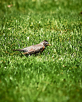 American Robin. Image taken with a Nikon D3s camera and 300 mm f/2.8 lens.