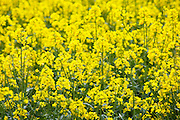 Oilseed rape crop, Brassica napus, in landscape at Swinbrook in the Cotswolds, Oxfordshire, UK