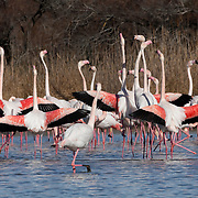 Flamingo mating parade in the water