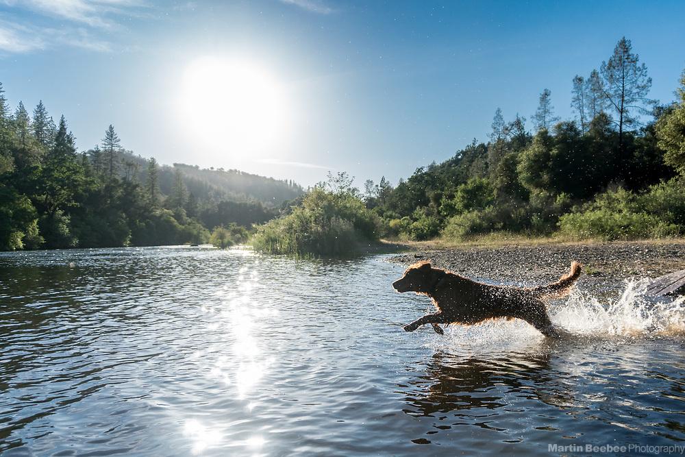 Dog (golden retriever) running in the South Fork American River, El Dorado County, California