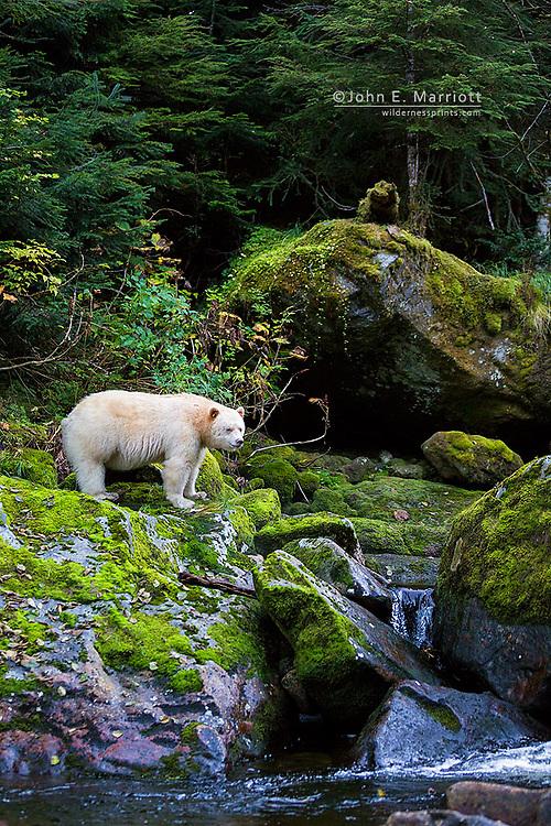 Kermode bear, Great Bear Rainforest, British Columbia, Canada