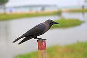 Grey-necked House Crow, Corvus splendens, perched on wooden fence post, Pasikudah Bay, Eastern Province, Sri Lanka, Asia