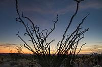 Ocotillo (Fouquieria splendens) silhouette Kofa Mountains Wildlife Refuge Arizona