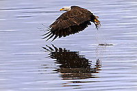 Bald Eagle (Haliaeetus leucocephalus) (Halietus leucocephalus) splashes the water and flies over Hood Canal in Puget Sound Washington, USA