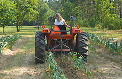 Woman plowing up field of elephant garlic
