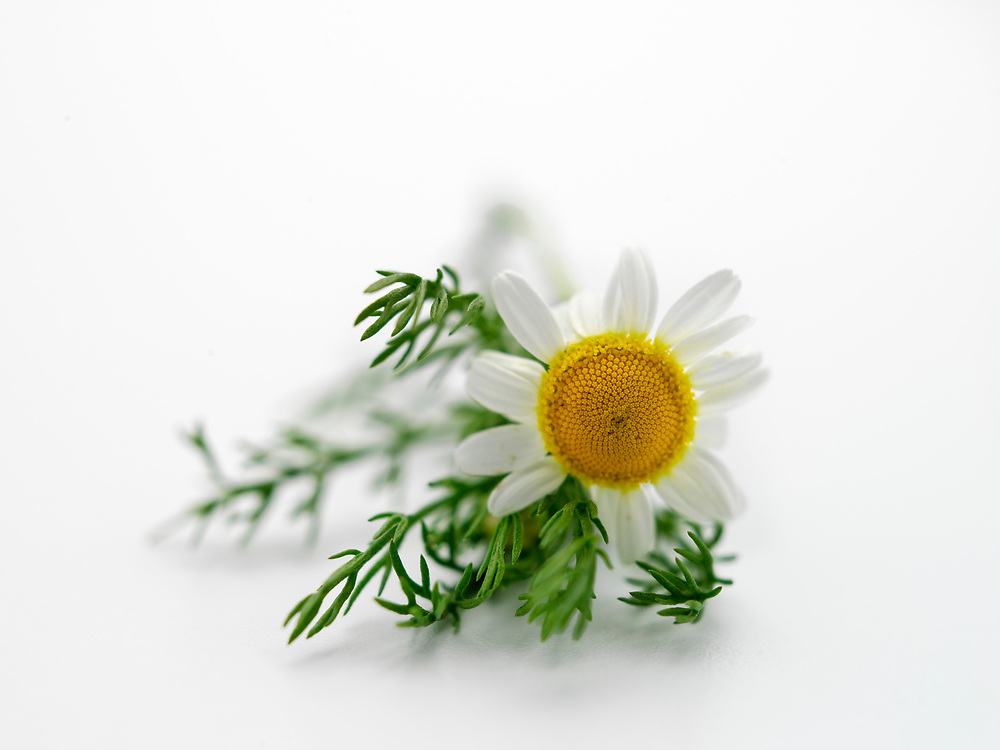 Chamomile flowers, showing stems and leaves, photographed on a white background