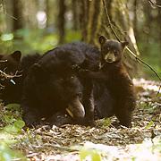 Black Bear, (Ursus americanus) Minnesota, spring cub going after wood ticks in sleeping sow's ear, in forest. Summer.